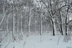 лес после снегопада