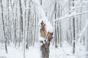 Снег сломал дерево