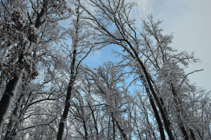 Небо сквозь заснеженный лес