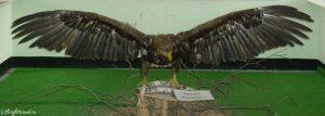 Экспонат орлан-белохвост