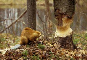 Бобр и дерево