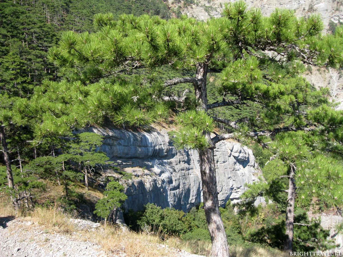 Зеленая сосна в горах