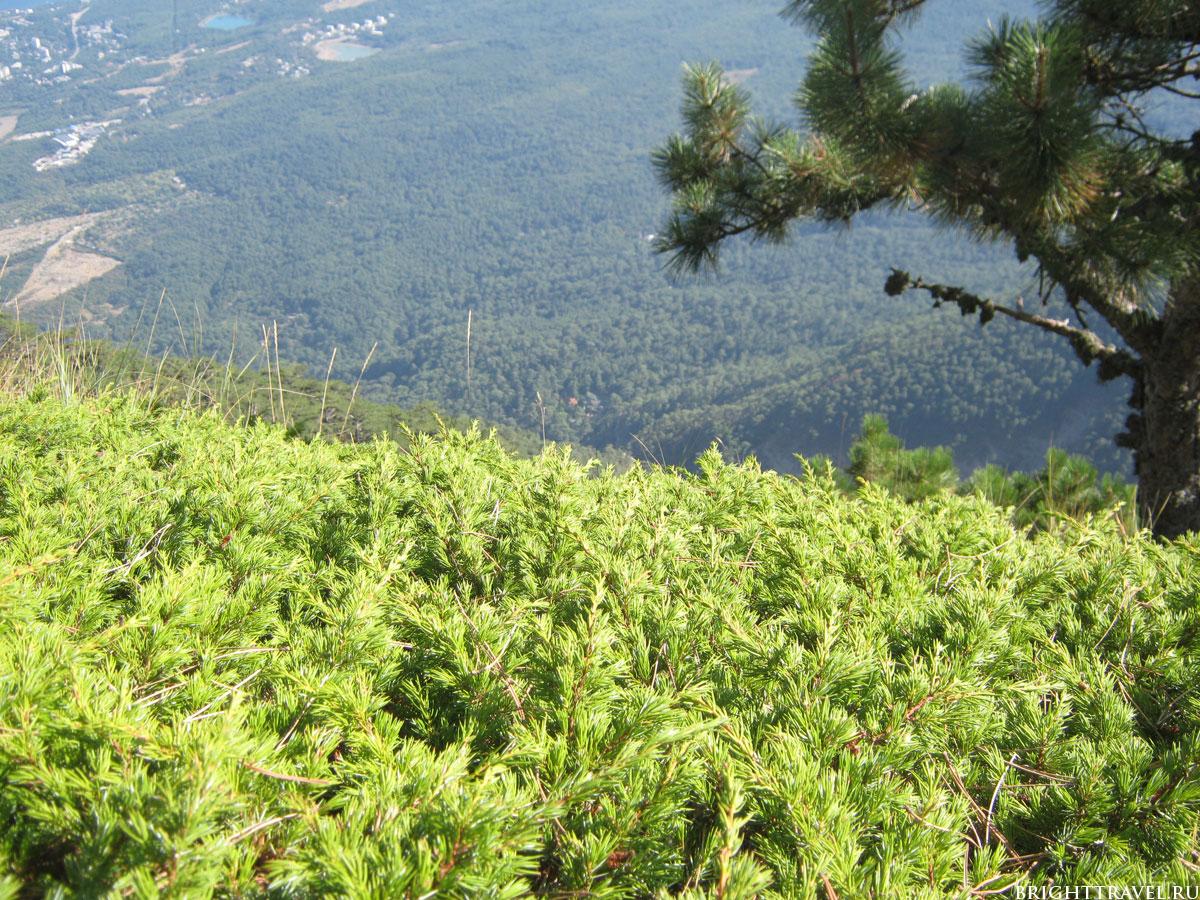 Можжевельник на плато Ай-Петри